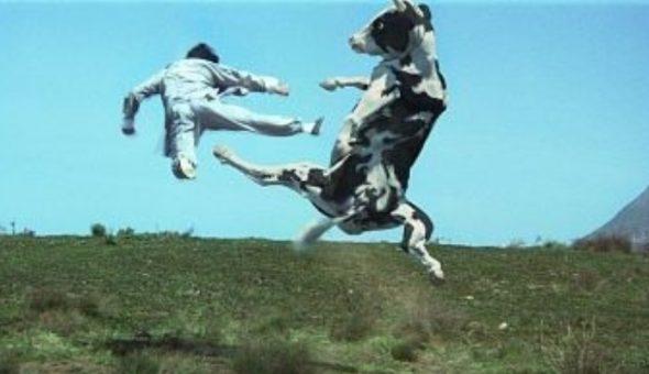 Furor por la vaca karateca: atacó a motociclista y se volvió viral