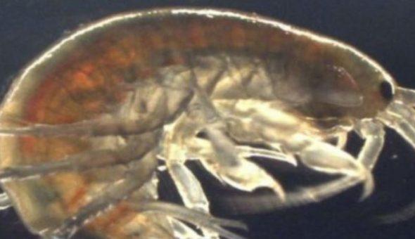 Encuentran muestras de drogas en camarones de agua dulce
