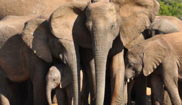 elefantes África