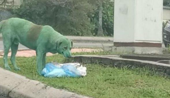 Perro pintado de verde aparece en las calles buscando comida — FOTOS