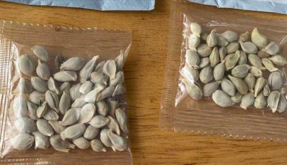 Chile semillas chinas