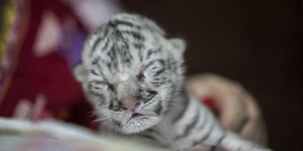 Nace tigresa blanca en peligro de extinción en zoológico de Nicaragua